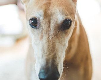 Greyhound Stare, Dog Photography, Wall Art, Home Decor, Greyhound Photography, Dog Art, Greyhound Art, Pet Photography, Greyhound Gift