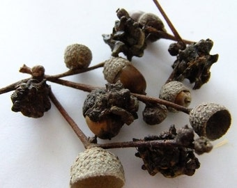 5 Knopper Oak Galls Witches Pagan Wicca craft use