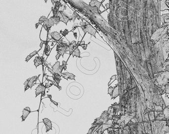 Tree, Leaf, & Plant Study Series (4)/ Intimate Simulated 'Pencil Drawing' of Cascading  Vines / High Res Print / Fine Art Photography