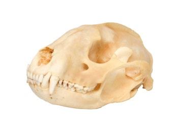 Real Bone Raccoon Skull