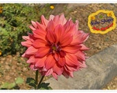 Set of 4 photos - Beautiful Dahlia photograph.
