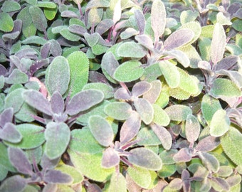 Purple Sage Live herb plant.