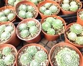 """Succulent plant, Semervivum Arachnoideum """"Cobweb"""""""