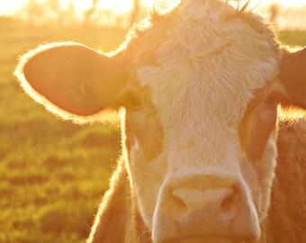 Peach, beef cow MetalPrint, Cow photo, Farm Animal Photo, Farm Animal Print, Cow Art, Farm Photography