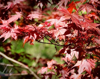Nature Photography. Spring & Summer Photography. Maple Leaf Photography. 8x12 Print