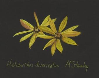 Print of original pastel drawing of a woodland sunflower wildflower