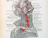 Arteries of the Head and Neck - 1933 Human Anatomy Book Page
