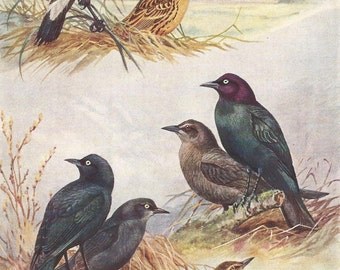 Vintage Bird Print, Book Plate, Blackbird, Bobolink, Allan Brooks, Antique Bird Illustration, 1930s
