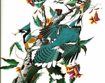 Bird Print - Blue Jay - Vintage Art Print - Audubon Book Plate, Print - Jay - Birds of America - John James Audubon - 1970s