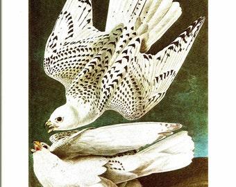 Bird Print - Gyrfalcon - Vintage Art Print - Audubon Book Plate, Print - Iceland Falcon - Birds of America - John James Audubon - 1970s