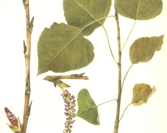 Black Poplar, Abele, Vintage Tree Print, Botanical Book Plate 20, Hardwood, Nature, Landscape, Frameable Art, 1977, Raymond