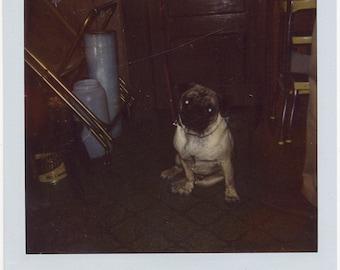 PHOTOGRAPH 1980s POLAROID pug dog glowing eyes photo sx70