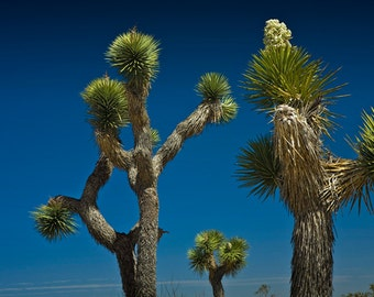 Desert Joshua Trees in Joshua Tree National Park in California No.334 - A Nature Desert Landscape Photograph