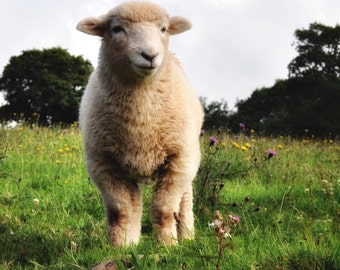 Lamb Fine Art Photography Download
