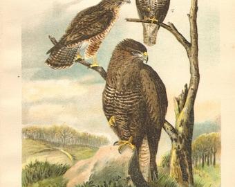 1903 Common Buzzard Original Antique Lithograph