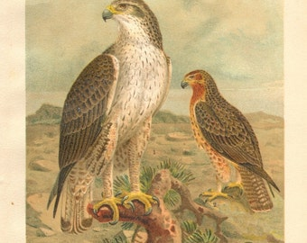 1903 Original Antique Lithograph of the Bonelli's Eagle