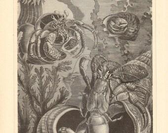 1894 Hermit Crabs Original Antique Engraving to Frame