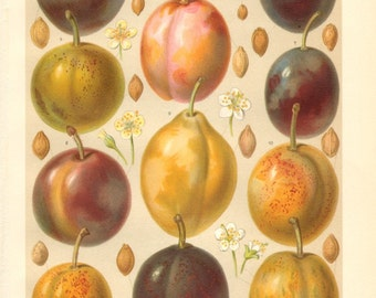 1904 Plums Original Antique Chromolithograph to Frame