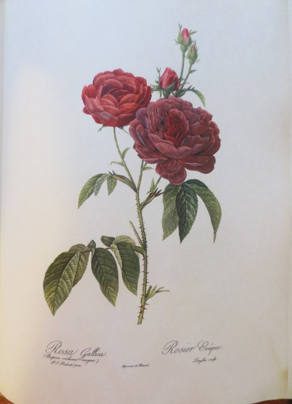 P.J. Redoute Roses Vintage 60's Book Roses Illustrations Flower Pictures Botanical Book Art