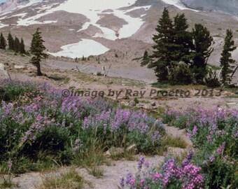 Mt. Hood Oregon, Glacier, Purple Wildflowers, Palmer Snowfield, Summer Skiing, Mt. View, Canvas, Art, Color Photography, Landscape, Nature