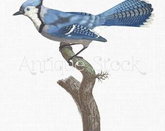 Blue Jay Bird Image - Vintage Bird Illustration - Blue Bird Drawing - Printable Bird Clip Art 1806