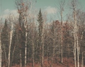 Landscape Photography, Winter Forest, Brown, Blue,Birch Trees, Vintage, Faded, Muted, Nature Photograph, Retro Tones