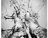 8x10, Growing old together, art, photography, nature, woodland wedding gift, tree art, grey art, Black and white photograph