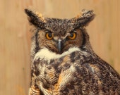 Owl photo, bird print, owls, canadian wildlife, woodland forest, natural history, rustic decor, animal print, great horned owl