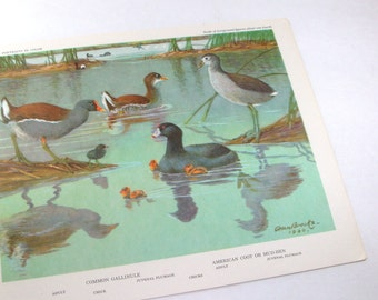 Vintage Bird Prints, Bird Portraits In Color,  Gallinules, Coots, Common Gallinule, American Coot or Mud Hen, Allan Brooks   (498-13)