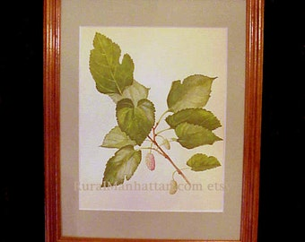 60s Botanical Plate Mulberry White Tree Morus Alba Print Leaves Berries Wood Frame Mulberry Tree