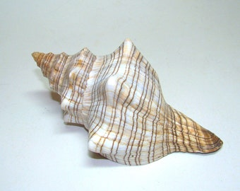 5 inches / 125 mm Striped FOX Sea shell for your collection or home decor