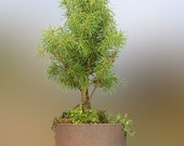 Spruce Conifer Bonsai Memory Tree