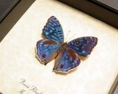 Real Framed Precis Rhadama Male Madagascar Royal Blue Pansy Butterfly 436