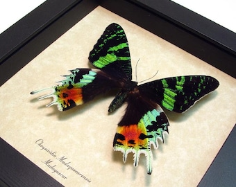 Real Framed Sunset Moth Conservation Quality Shadowbox Display 163