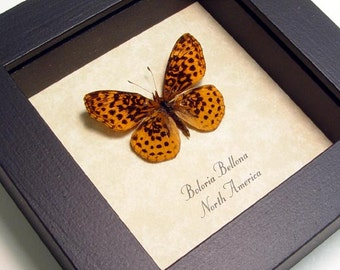 Real Framed Boloria Bellona Meadow Fritillary Butterfly Shadowbox Display 8080