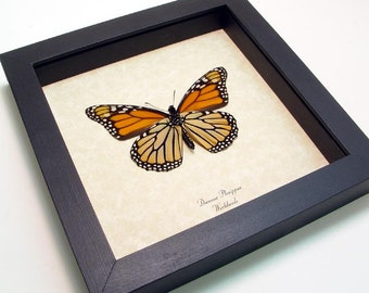 Black Friday/Cyber Monday Sale The Monarch Verso Butterfly Shadowbox Display 111v