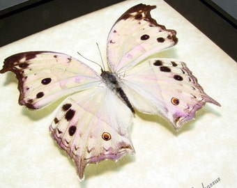 Valentine's Day Gift Mother Of Pearl Real Framed Butterfly 200