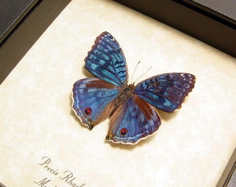 Real Framed Precis Rhadama Male Madagascar Royal Blue Pansy Butterfly Shadowbox Display 436