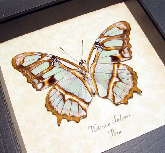 Real Framed Leaf Green Orange Butterfly Shadowbox Display 236v