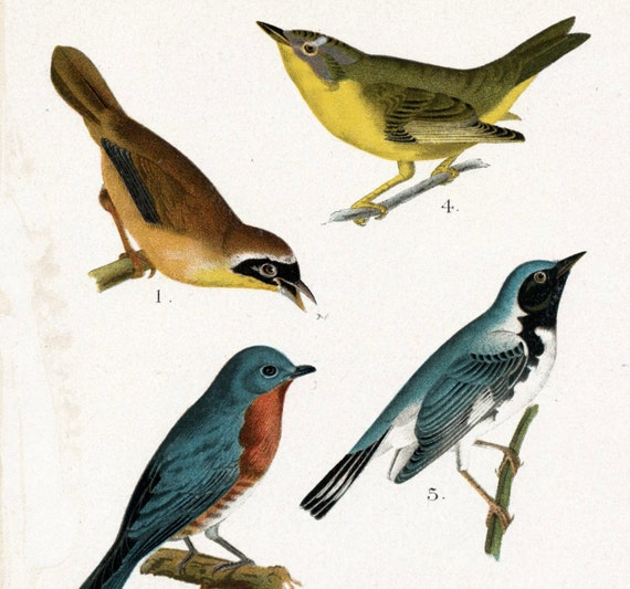 1903 Antique Chromolithograph of Birds of Canada and the US. Plate 6. Yellowthroat, Bluebird, Wren, Warbler, Kinglet