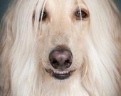 Rock Star, Star, Dog, Afghan Hound, Blond, Pale, Rock and Roll, Yellow, Smile, Sexy