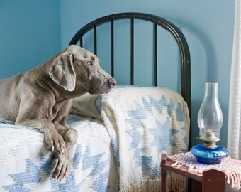 Blue Room, large original photograph of a Weimaraner dog lying on a bed, looking out the window