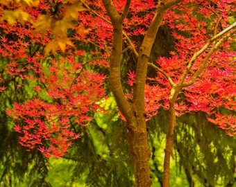 Autumn Photography Fall Colors Photo Red Maple Leaves Autumn Trees Nature  Fine Art Print nat90