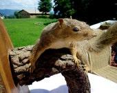Vintage Large Taxidermy Squirrel