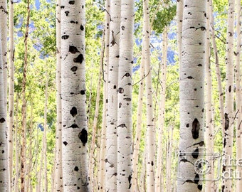 Aspen Photo / Aspen Trees / Aspen Tree Photo / Black and White Aspen Photograph / Row of Aspens (GIANT PRINT in color or black & white)