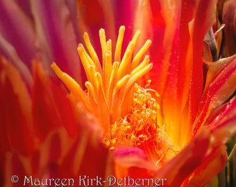 Explosion - Photograph of a Cactus Flower
