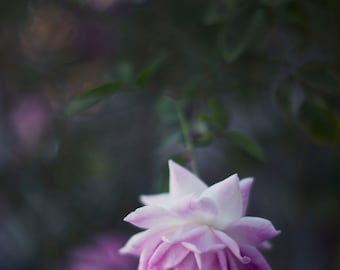 Lone Beauty - 8x10 Fine Art Photograph, Purple, Flower, Garden, Spring