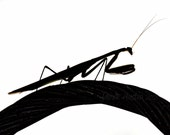 Praying Mantis Silhouette Profile 8x10 Fine Art Photograph - Insect, Black and White