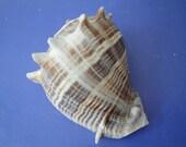 "Sea Shell Seashell 4.2"" Melongena Melongena Shell"