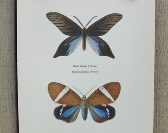 Vintage Moth Print / Histia Rhodope & Eucyane Excellens / Full Color Moth Book Plate Illustration